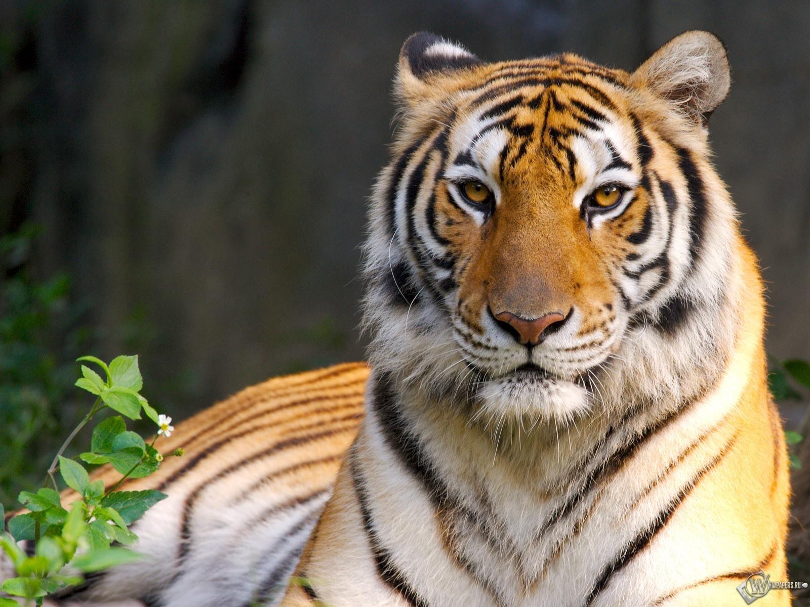 Отдыхающий тигр 1600x1200