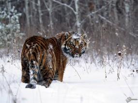 Обои Тигр в снегу: , Тигры