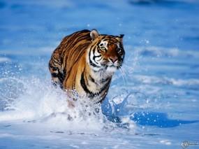 Обои Тигр бегущий по волнам: Волны, Тигр, Бег, Тигры