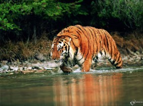 Обои Тигр шагающий по воде: , Тигры