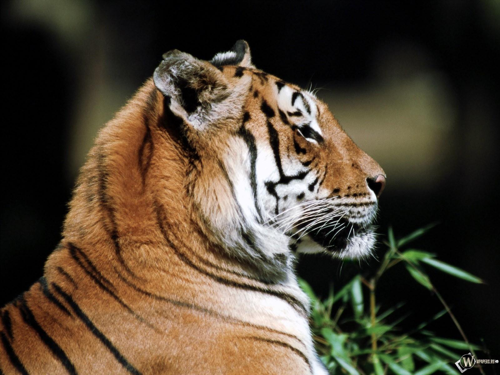 Тигр в профиль 1600x1200
