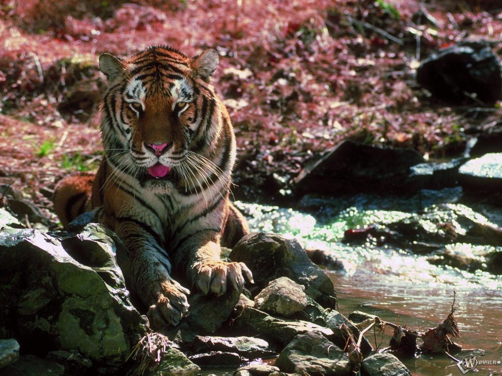 Тигр на камнях 1600x1200