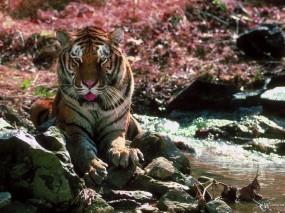 Обои Тигр на камнях: , Тигры