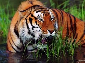 Обои Тигр стоящий в воде: Тигр, Зевает, Тигры