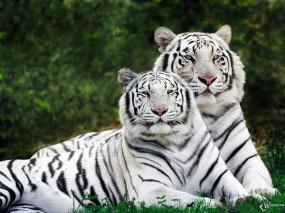 Обои Два белых тигра: Белые тигры, Бенгальские тигры, Тигры