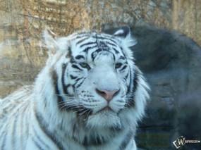 Обои Белый бенгальский тигр: Бенгальский тигр, Морда, Белый тигр, Тигры