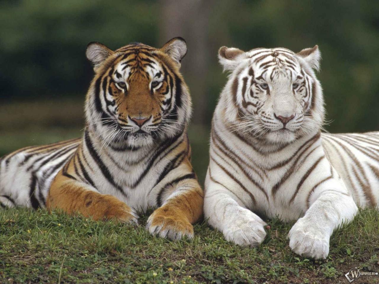 Обои белый тигр и серый тигр 1280x960
