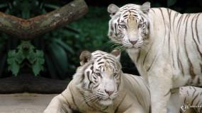 Обои Два белых бенгальских тигра: Белые тигры, Бенгальские тигры, Тигры