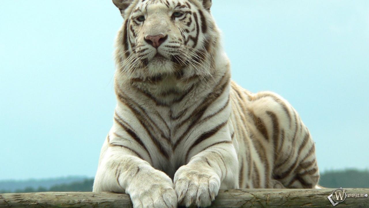Белый тигр отдыхает бенгальский тигр