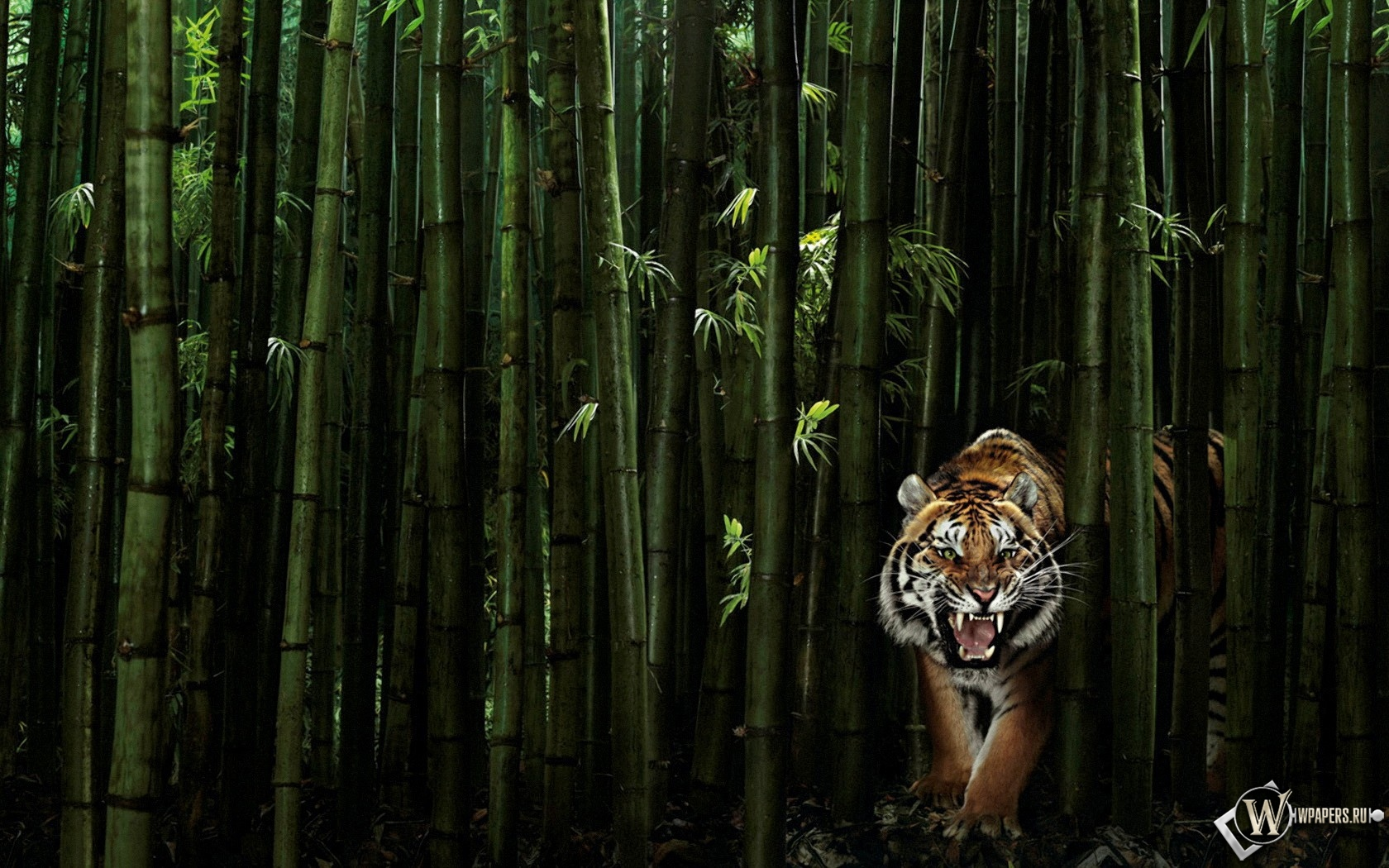 Тигр в бамбуке 1680x1050