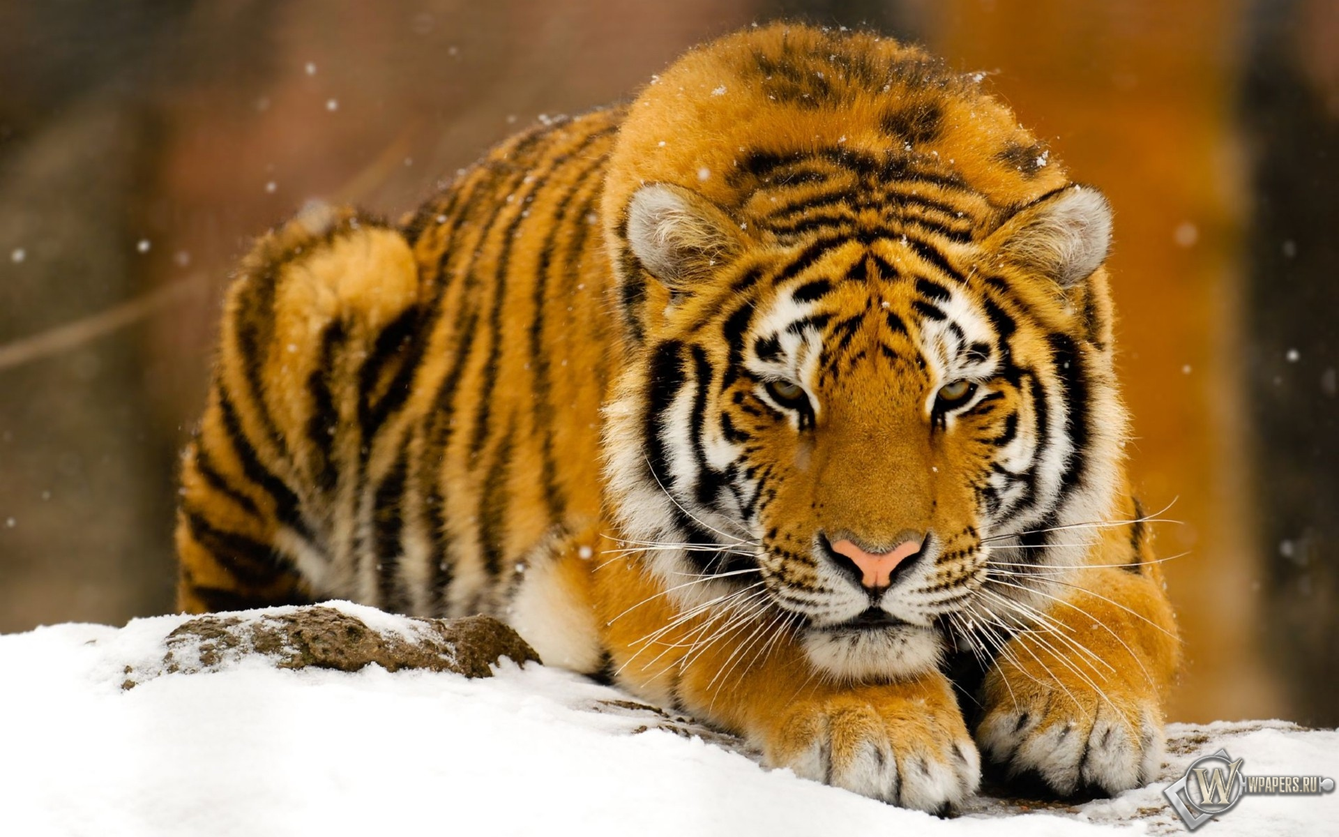 Тигр лежит на снегу 1920x1200
