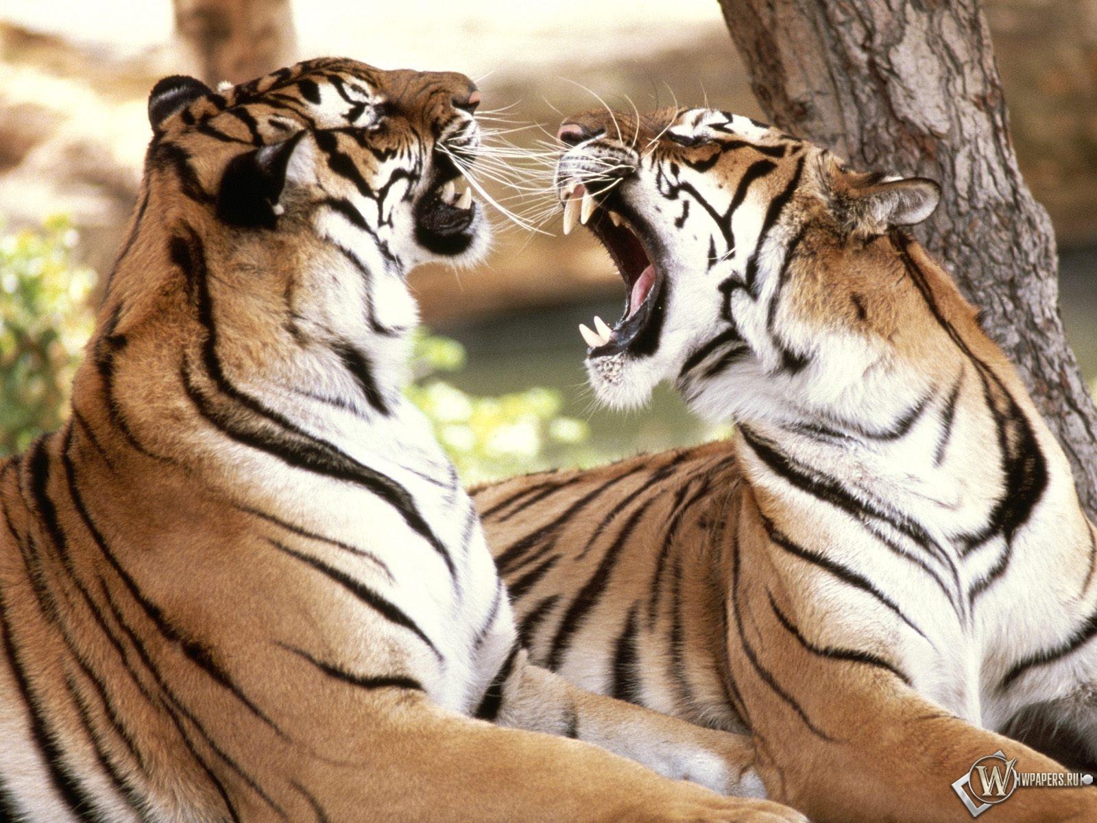 Два тигра спорят 1600x1200