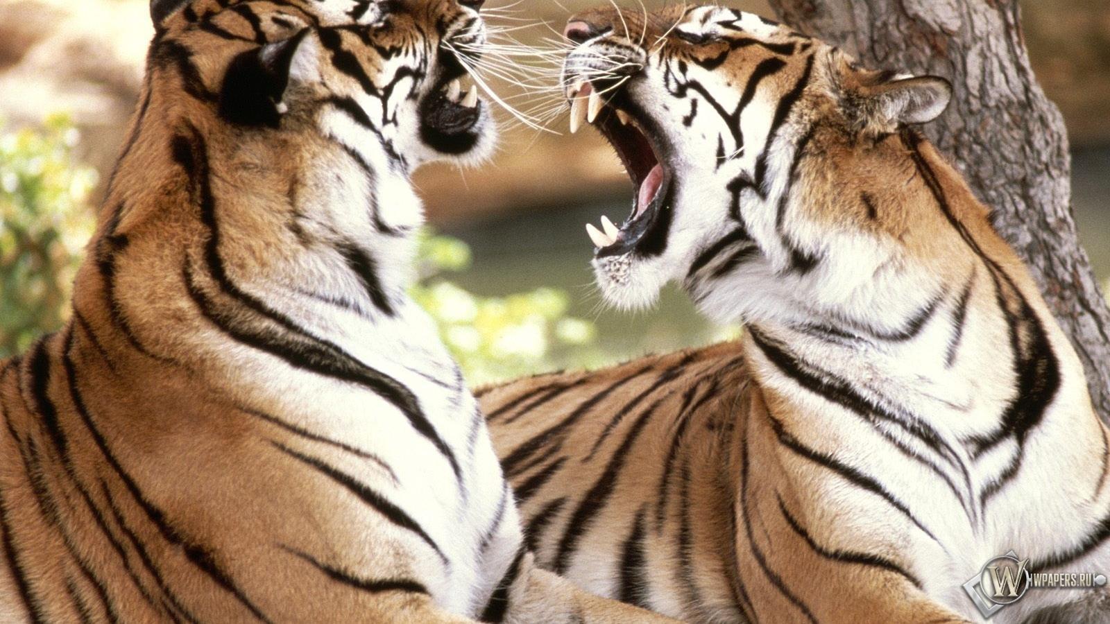Обои два тигра спорят тигры чувства