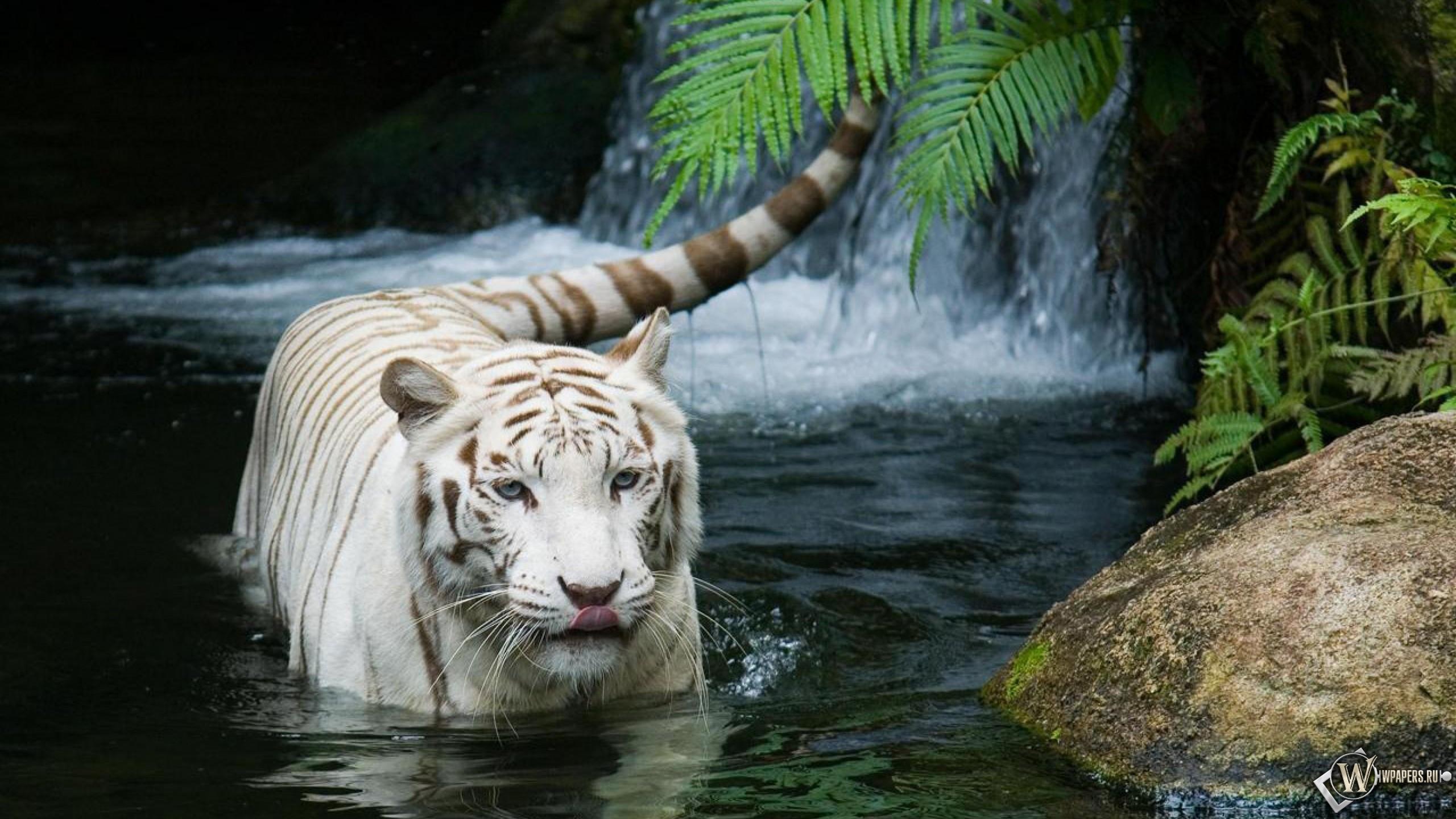 Красивый белый тигр в воде 2560x1440