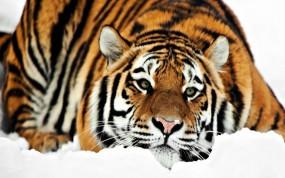 Обои Тигр на снегу: Снег, Тигр, Тигры