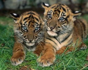 Обои Два тигренка: Котята, Малыши, Тигрята, Тигры