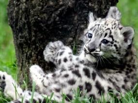 Обои Ирбис: Белый тигр, Тигренок, Прочие животные