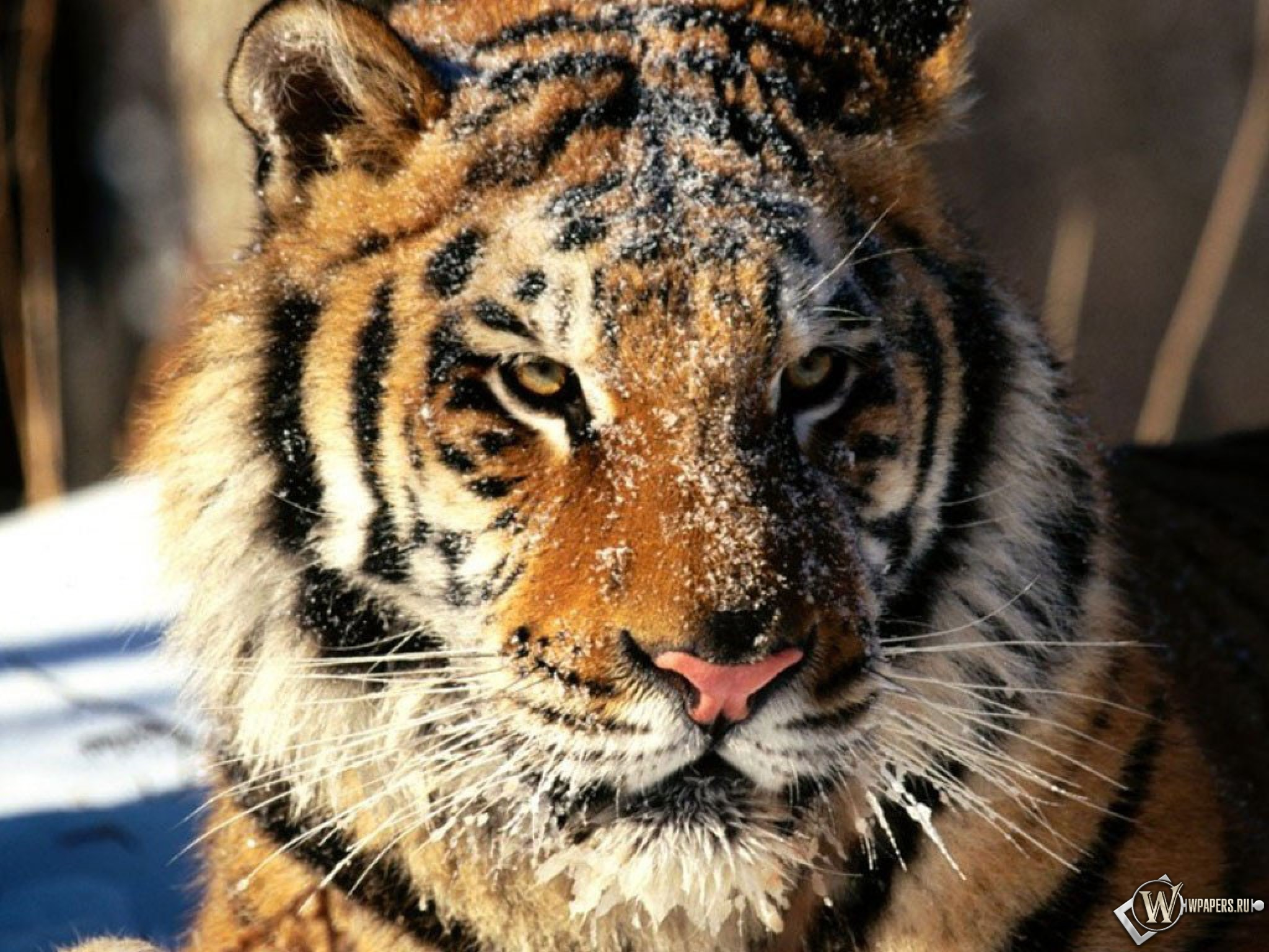 Морда тигра в снегу 2048x1536