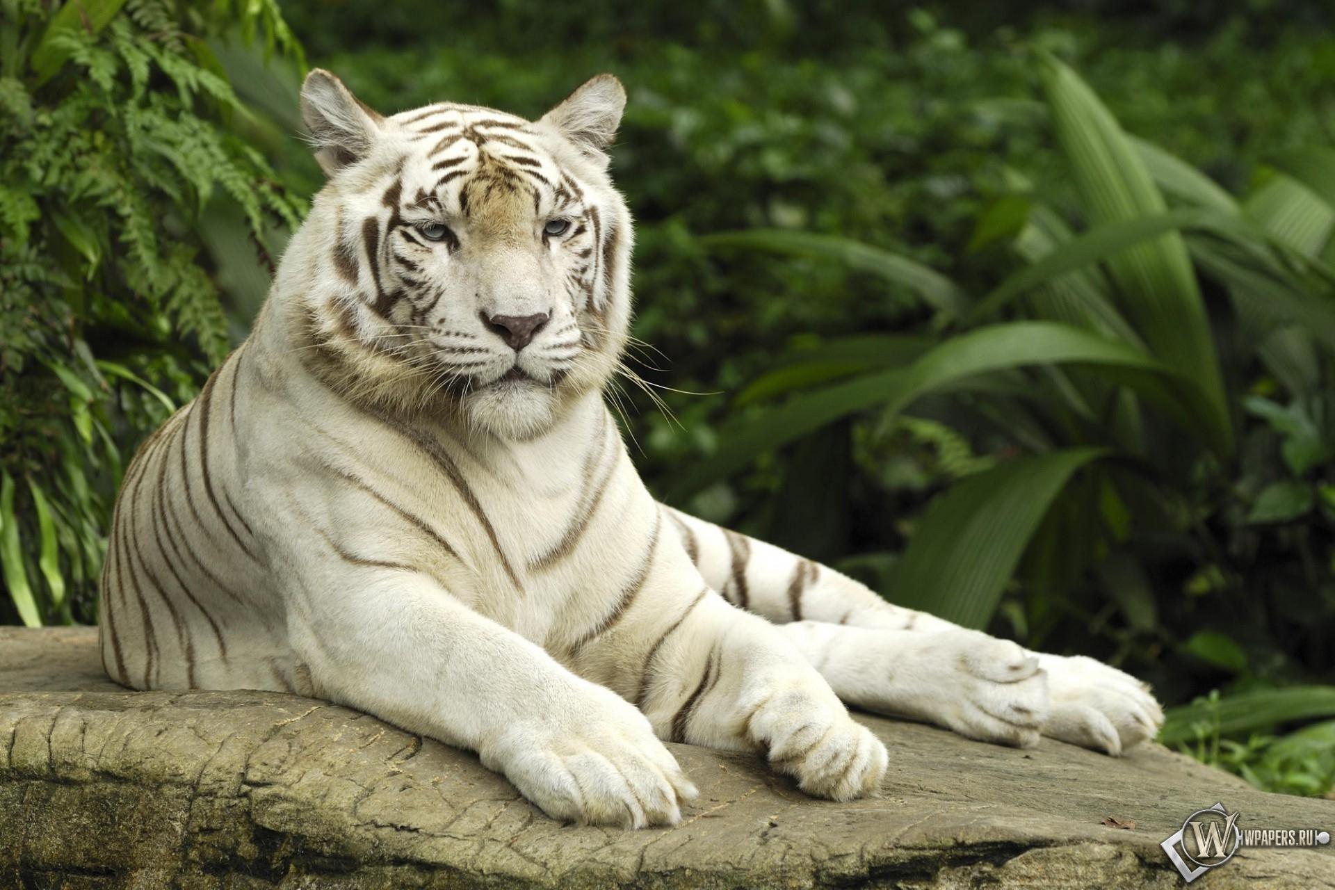 Белый тигр отдыхает 1920x1280