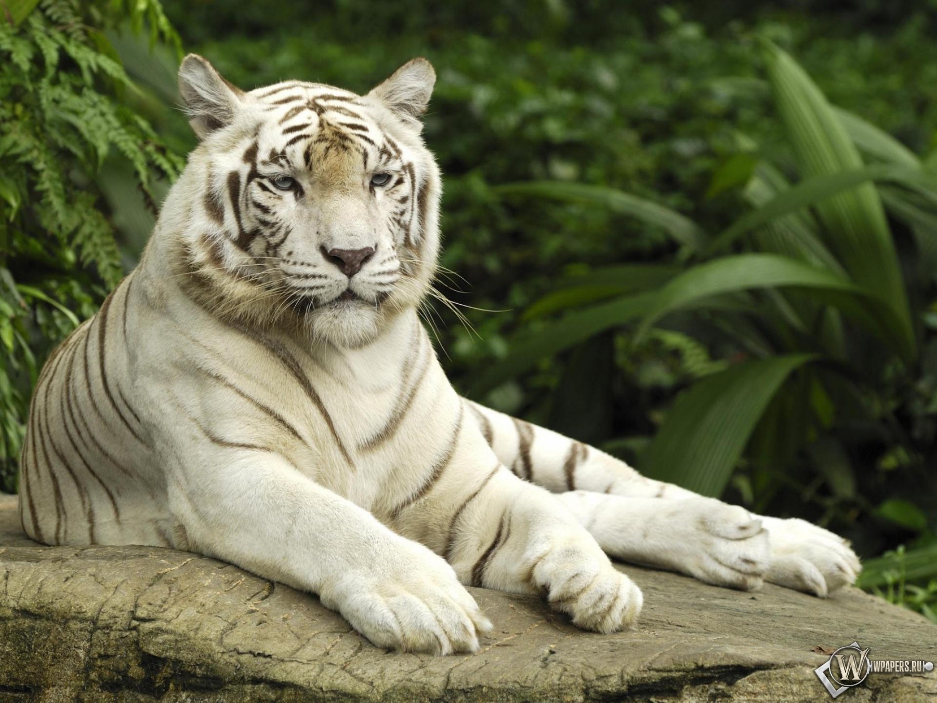 смешное фото белого тигра