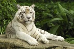 Обои Белый тигр отдыхает: Белый тигр, Тигры
