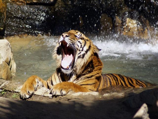 Тигр в реке рычит