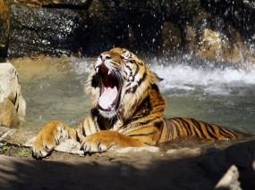 Обои Тигр в реке рычит: Река, Тигр, Рычит, Тигры