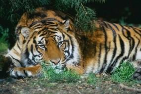 Обои Тигр отдыхает: Отдых, Тигр, Дикая кошка, Тигры