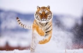 Обои Тигр бежит по снегу: Зима, Снег, Тигр, Прыжок, Тигры
