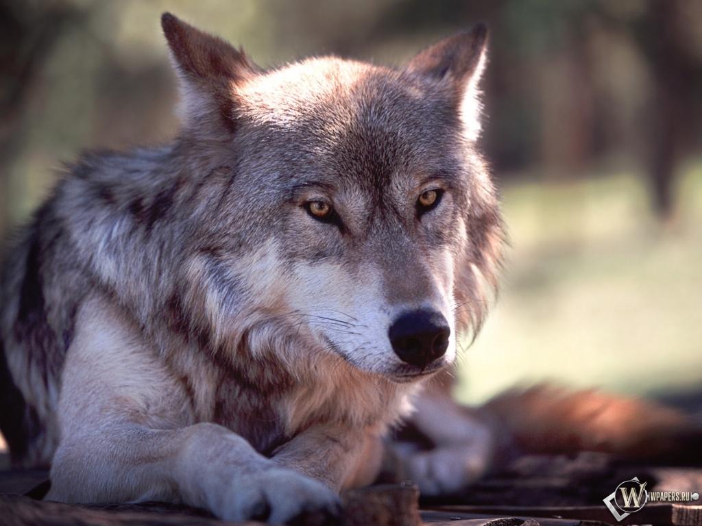 Обои волк волк серый животное 1024x768