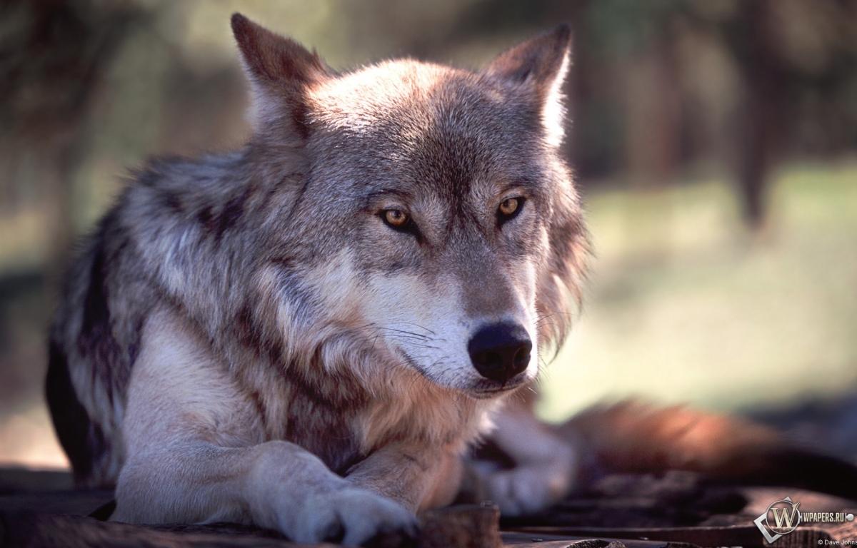 Обои волк волк серый животное 1200x768
