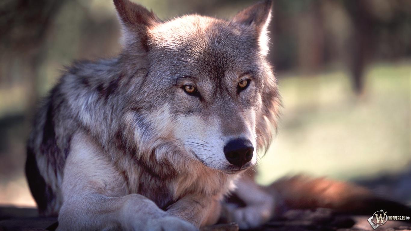 Обои волк волк серый животное 1366x768