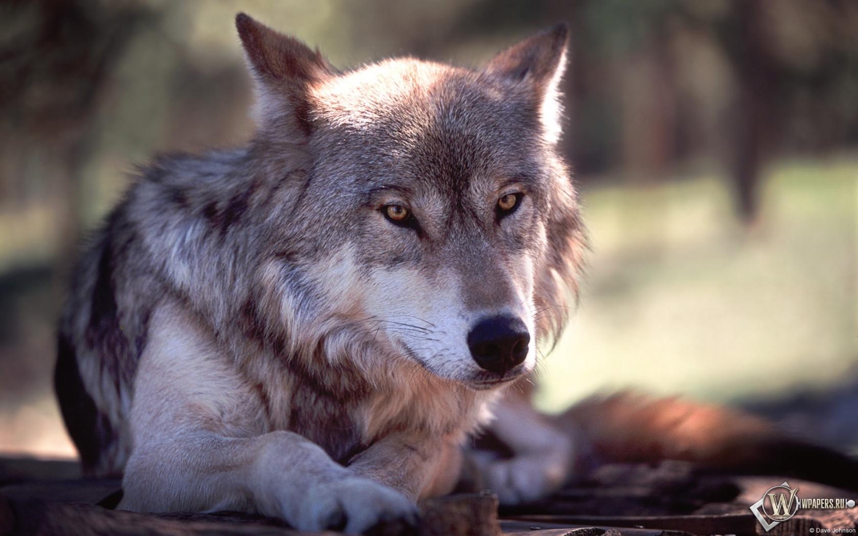 Обои волк волк серый животное 1680x1050