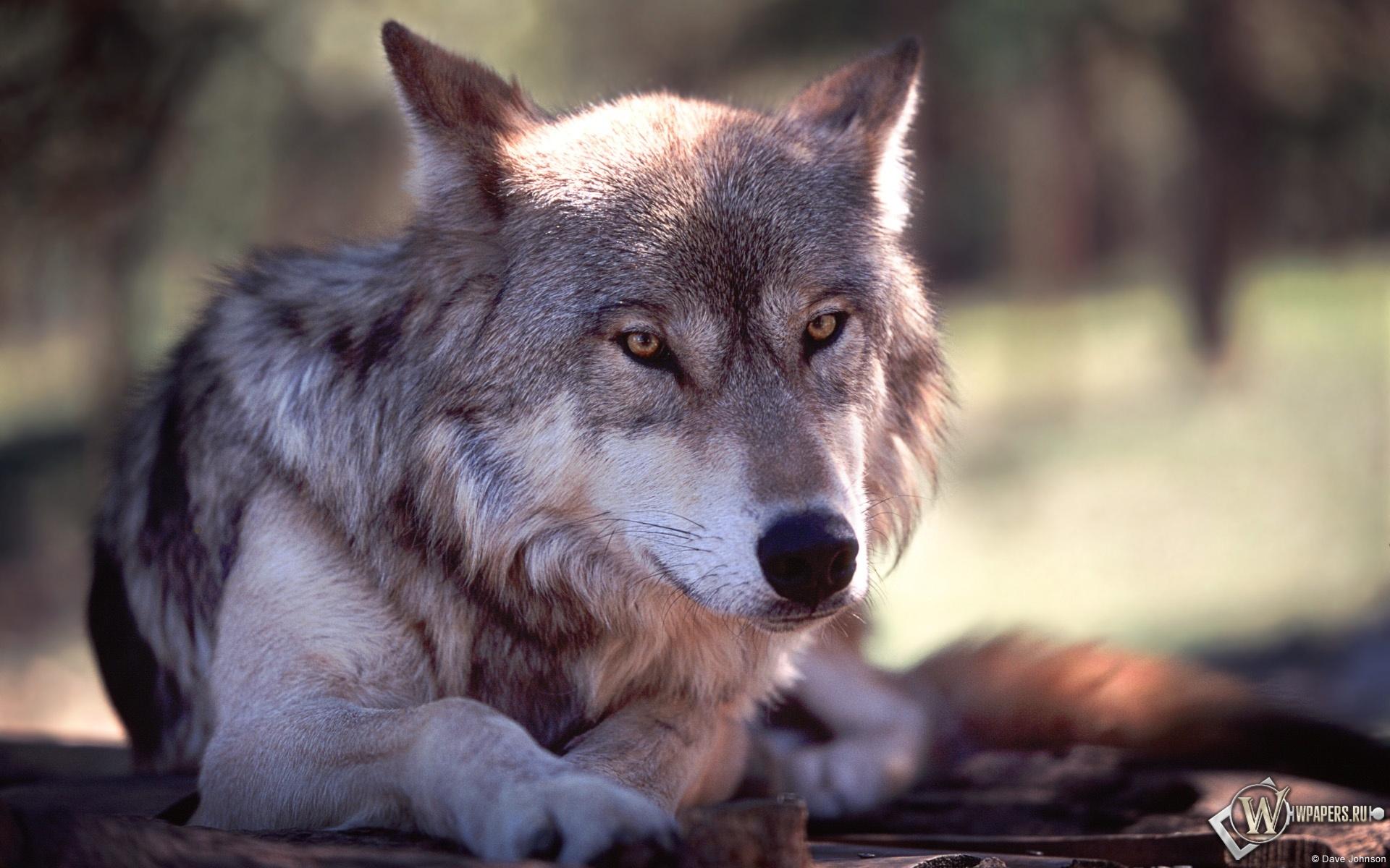 Обои волк волк серый животное 1920x1200