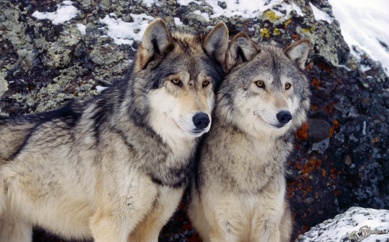 Волки зимой 2880x1800
