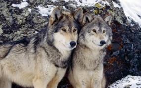 Обои Волки зимой: Зима, Пара, Волки, Волки