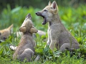 Обои Волчата: Малыши, Волчата, Игры, Волки