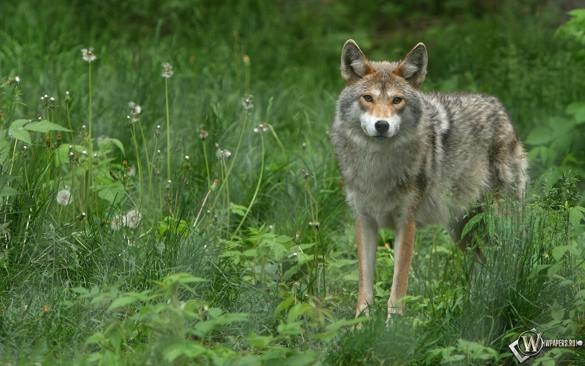 Волк в траве 1920x1200