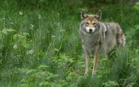 Обои Волк в траве: Взгляд, Трава, Волк, Волки