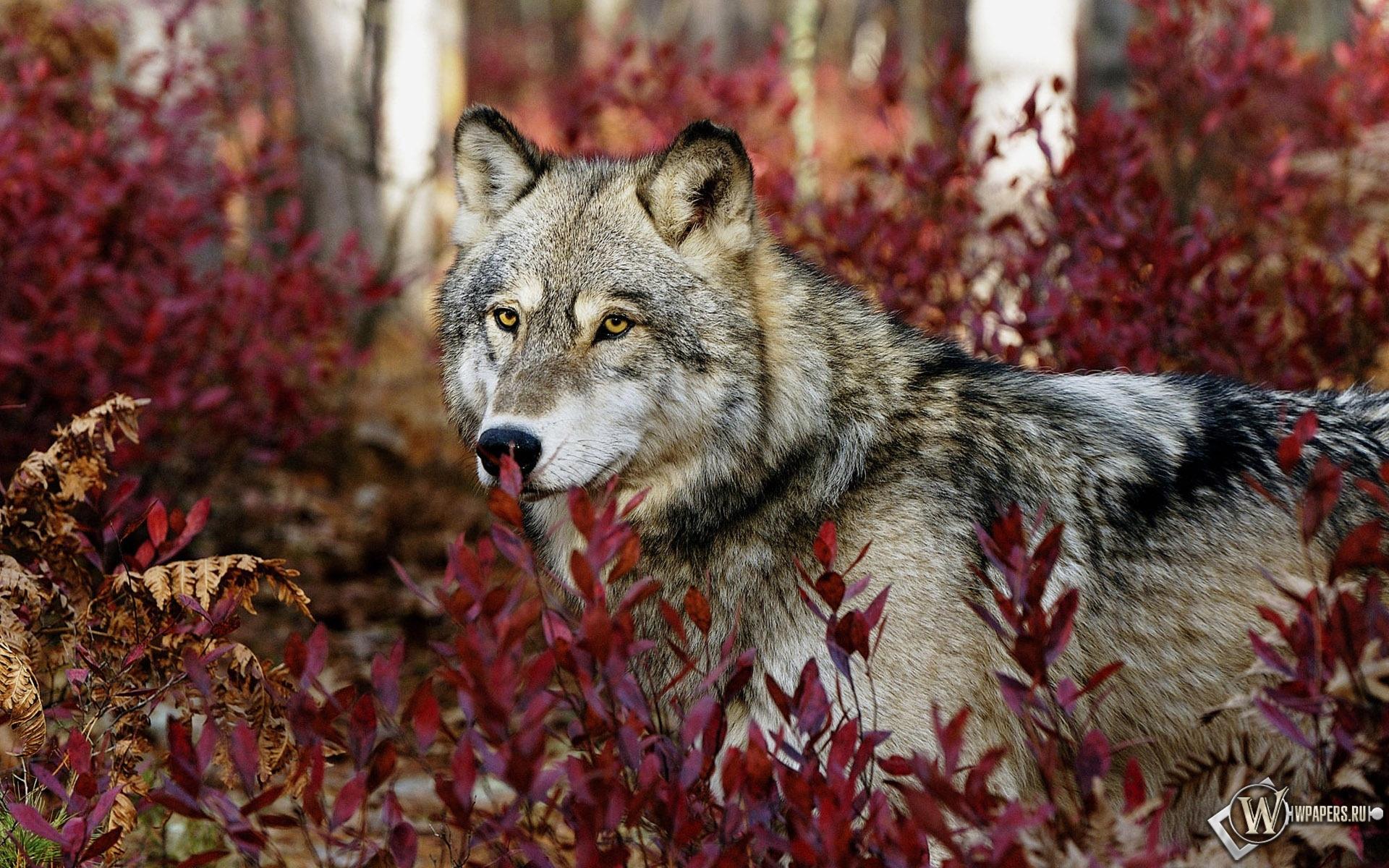 Волк в красных листьях 1920x1200