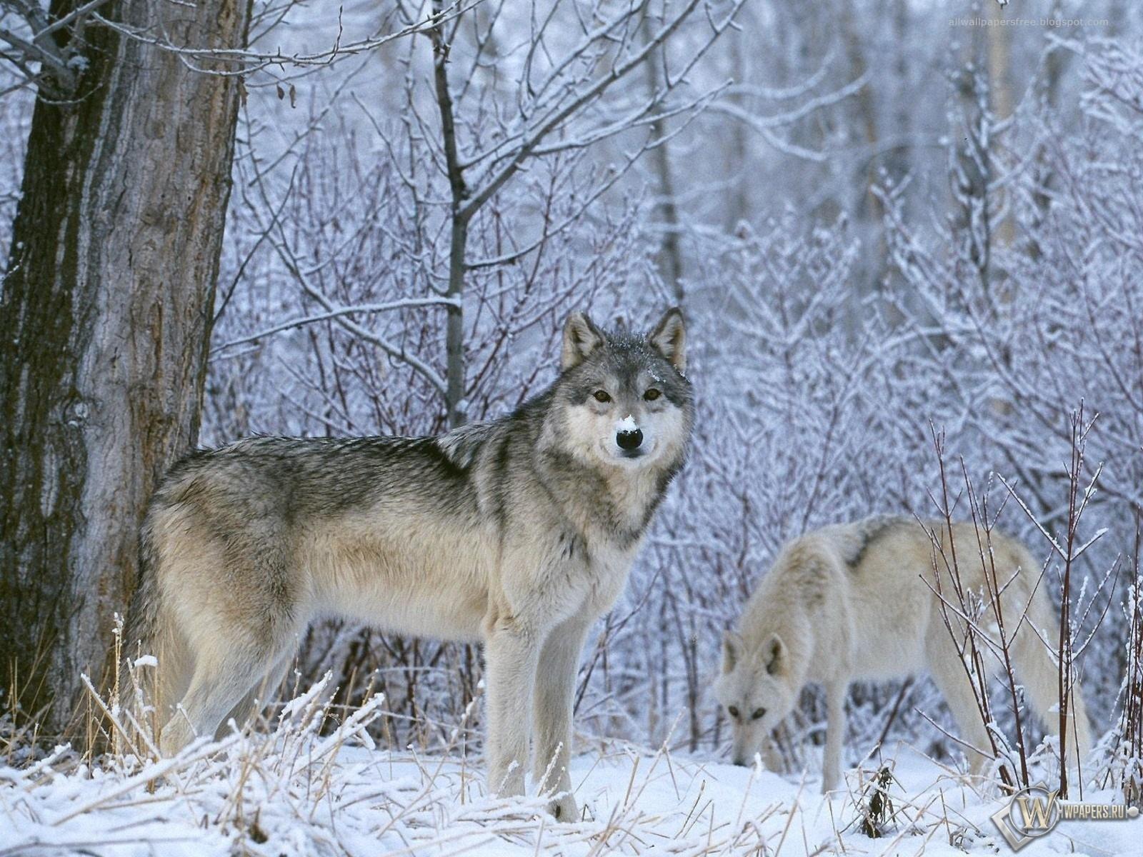 Волк в лесу 1600x1200