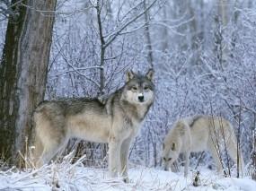 Обои Волк в лесу: Зима, Лес, Волк, Волки