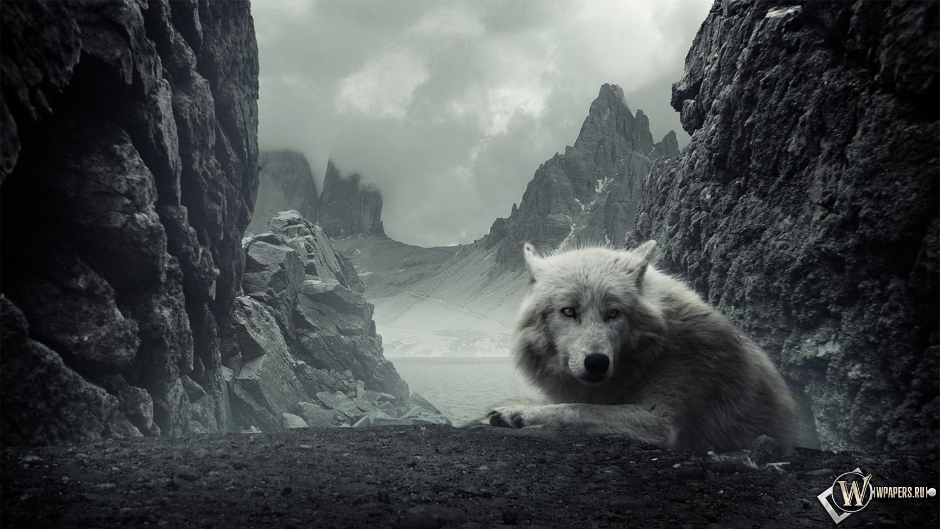Белый волк 1920x1080