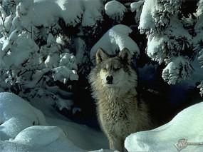 Обои Волк: Снег, Волк, Ели, Волки