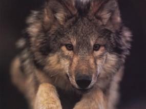 Обои Волчонок: Волчонок, Волки