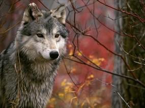 Обои Волк: Дерево, Волк, Ветки, Волки