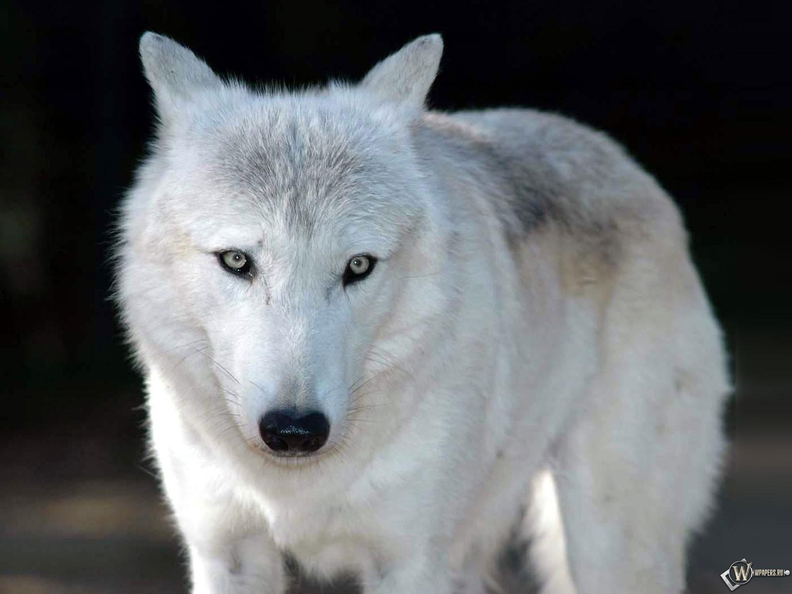 Animals Wallpaper 3d Hd 2 0 Apk Download: Скачать обои Белый волк (Взгляд, Белый волк) для рабочего