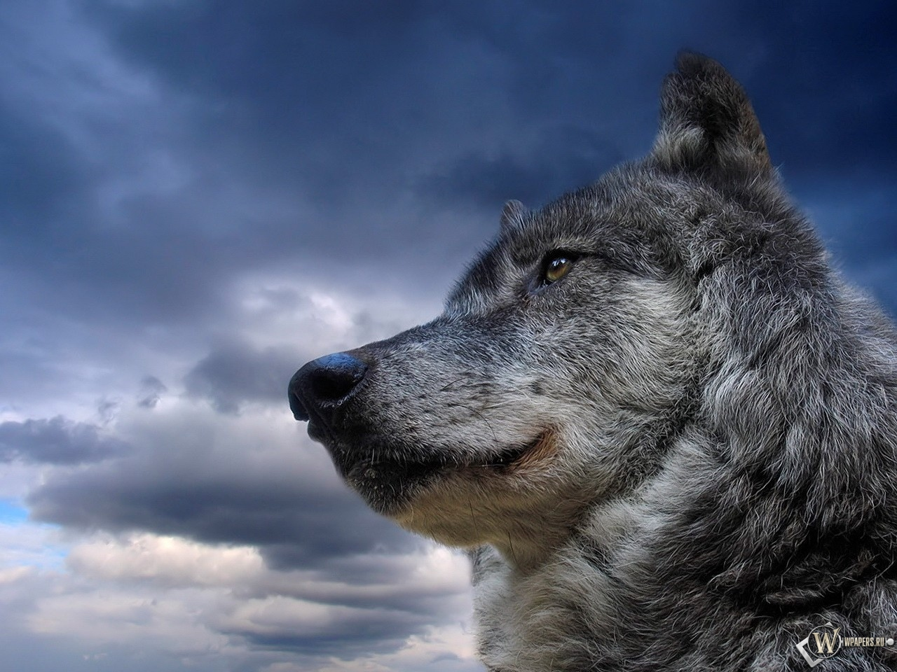 Обои волк на фоне неба на рабочий стол