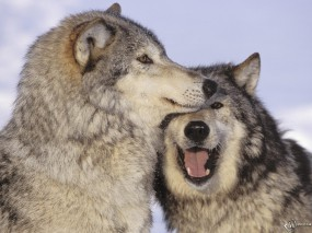 Обои Волчья любовь: Любовь, Волки, Волки
