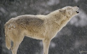 Обои Воющий волк: Снег, Волк, Вой, Волки